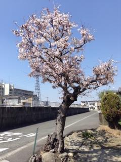kawakita_sakura201704.jpg