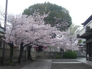 naritasan_sakura201704.jpg