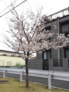 suiro_sakura201704-2.jpg