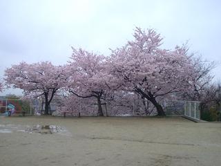 yuyagatani_sakura201704.jpg